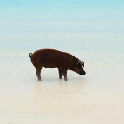 cstline pigs